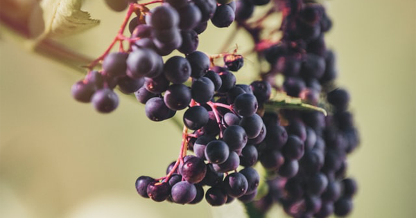 Elderberry : Health Benefits, Nutrition, Uses, How To Make It, and Side Effects!